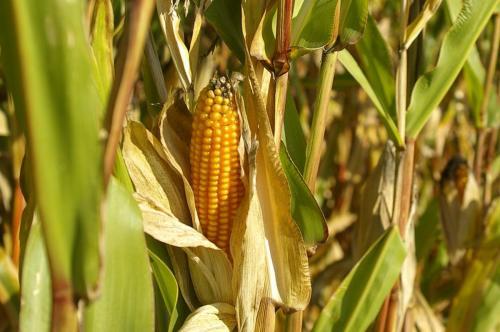 cornfield-543101 1280